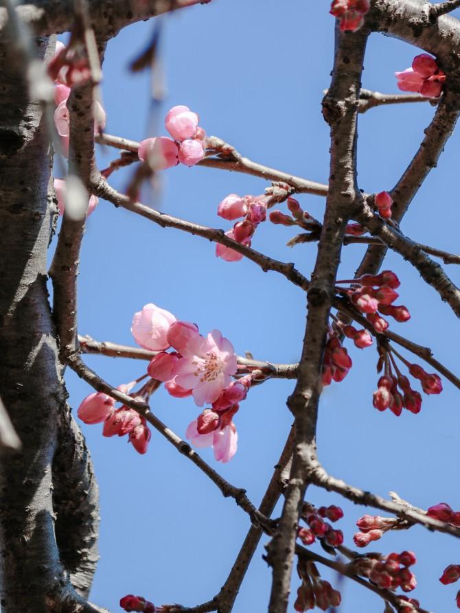しだれ桜が開花 原木山妙行寺にて