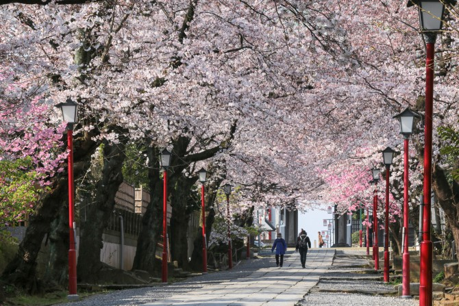 市川の桜スポット(3)「中山法華経寺」