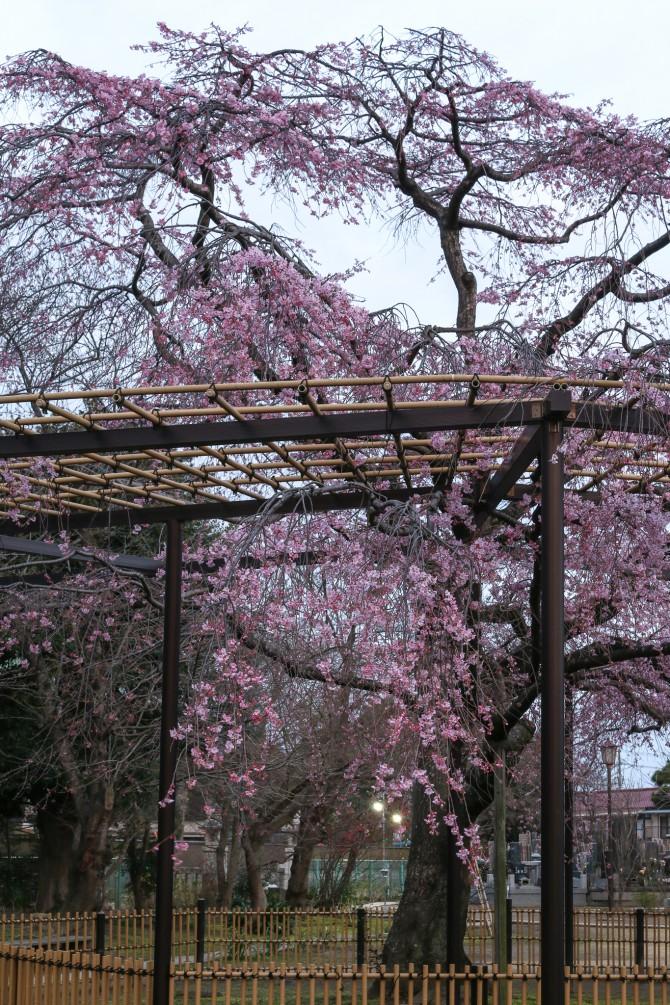 原木山妙行寺のしだれ桜が間もなく見ごろに