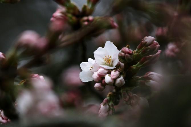 染井吉野の開花