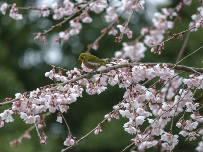 伏姫桜とメジロたち