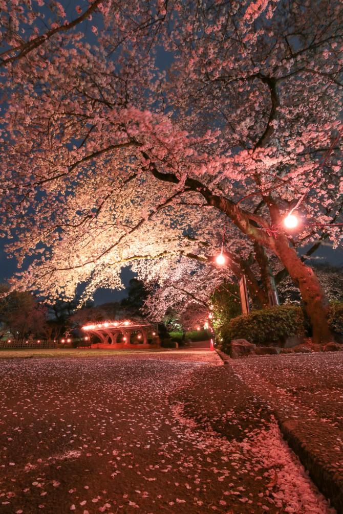市川の桜スポット(4)「里見公園」