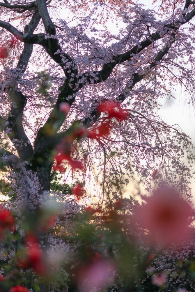 ぼけとしだれ桜