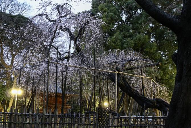 真間山弘法寺の伏姫桜がそろそろ見ごろに