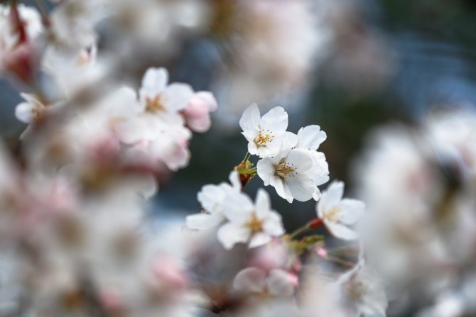 里見公園でソメイヨシノが三分咲き