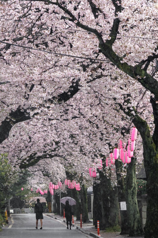 里見公園前の桜並木にて
