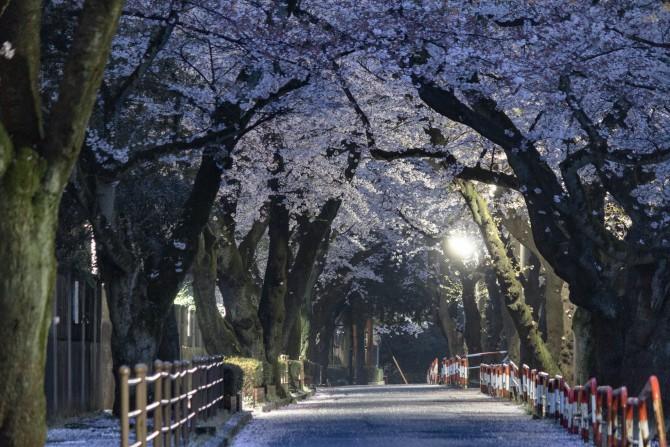 千葉商科大学と国府台公園の間の桜並木にて