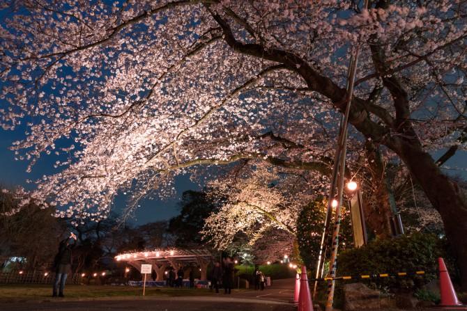 夜桜のライトアップ 里見公園にて