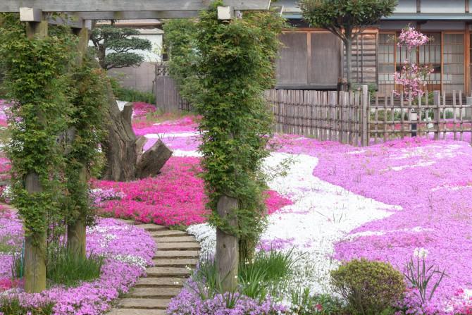 郭沫若記念館の芝桜の開花状況