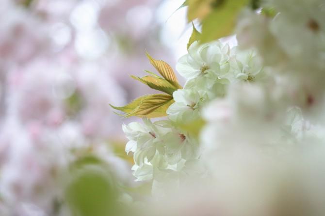 八重桜が咲いています