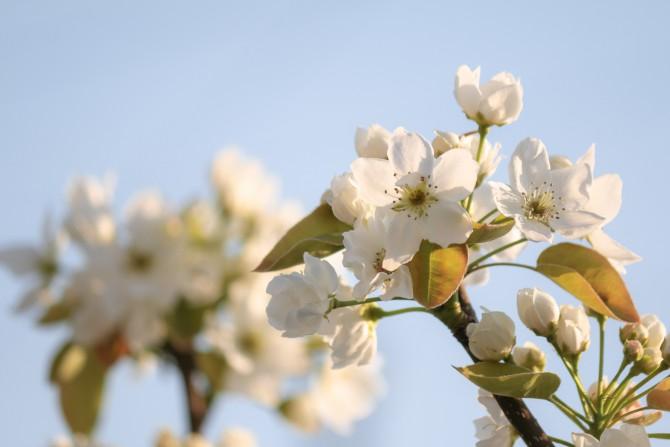 梨の花が咲いていました