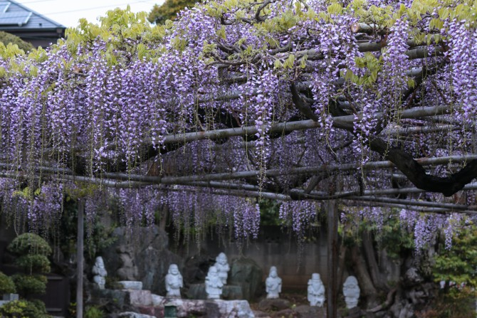 高圓寺の長寿藤