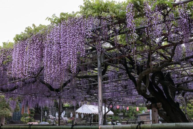 高圓寺の長寿藤が満開