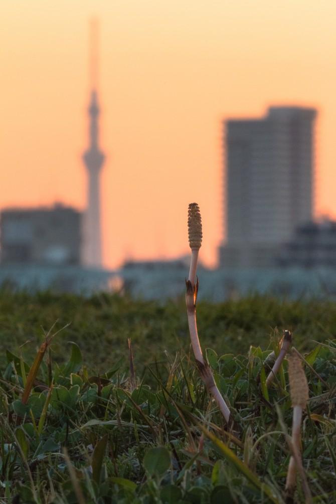 春の江戸川土手