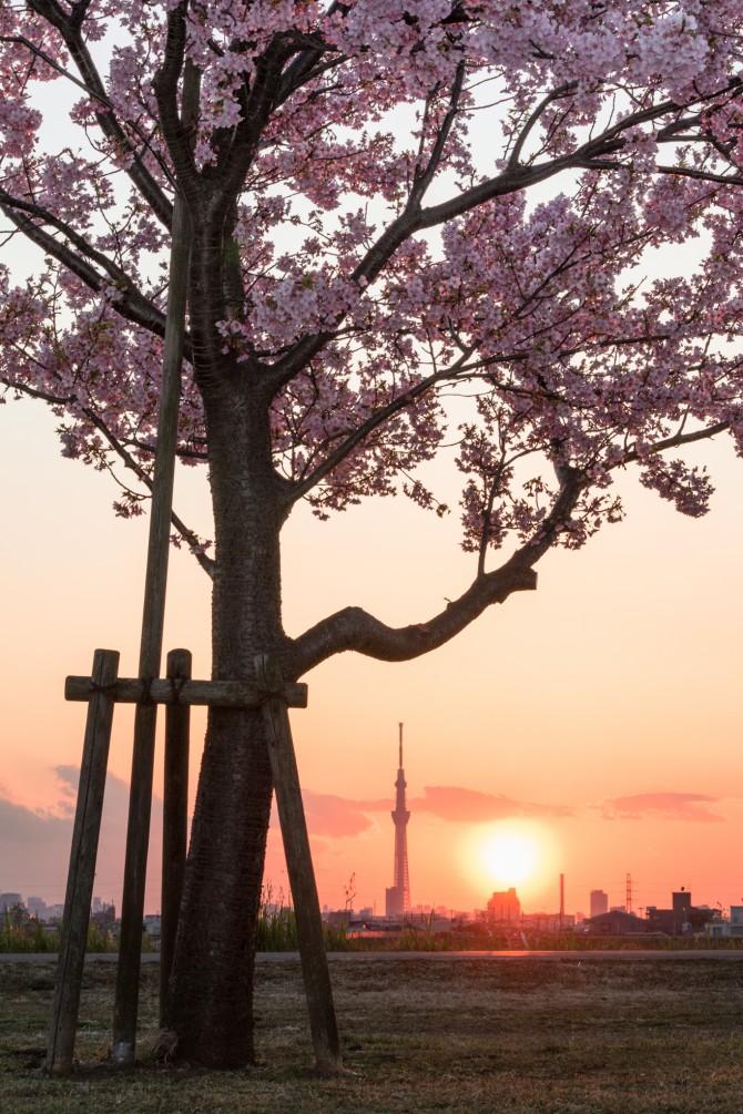 河津桜と夕陽と