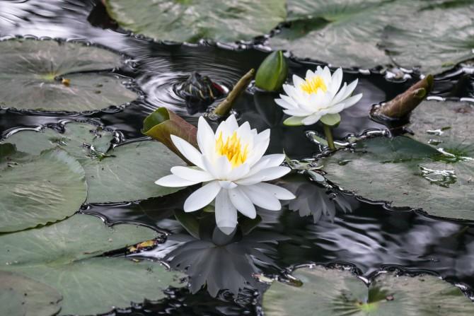 手児奈霊神堂の池でもスイレンが咲き始め