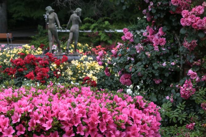 サツキがバラ園を囲むように咲いています  里見公園にて