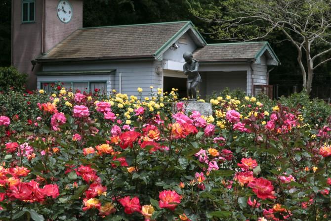 大町自然観察園のバラ園の開花状況