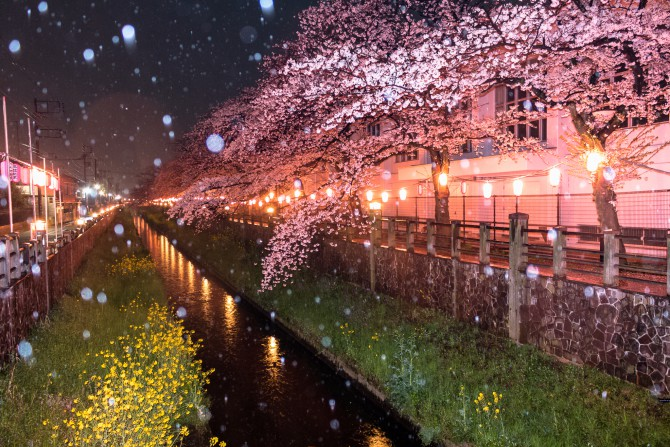 桜と雨と菜の花と 真間川にて