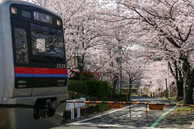 桜がいっぱいの踏切で