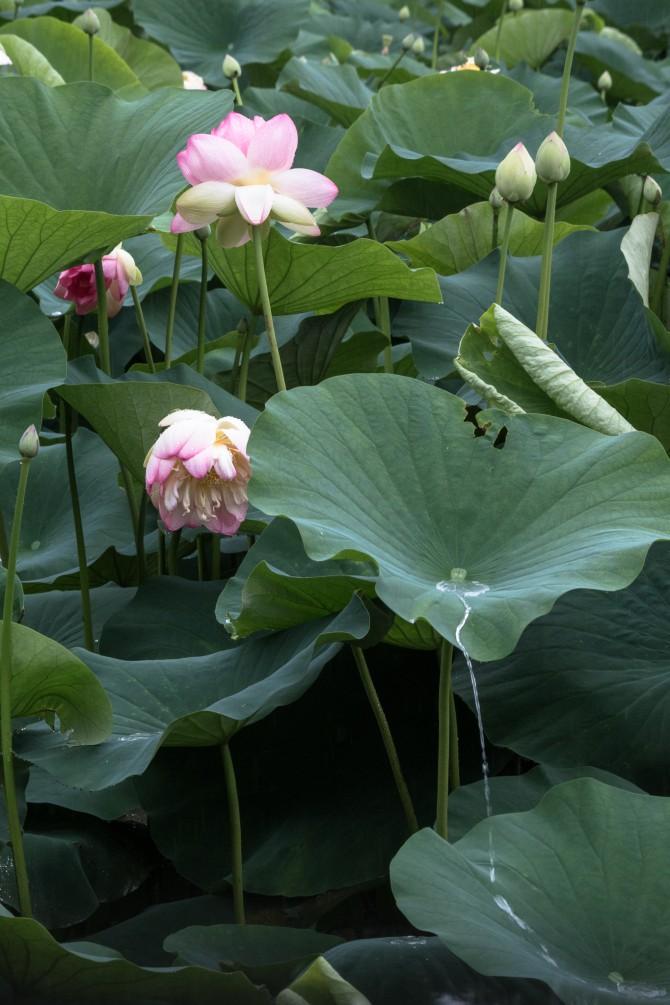 ハスの花が少しずつ増えてきました 中山法華経寺にて