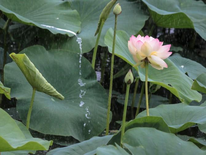 ハスの花が咲き始めました 中山法華経寺にて