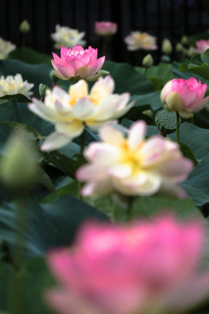 ハスの花がそろそろ見ごろに 中山法華経寺にて