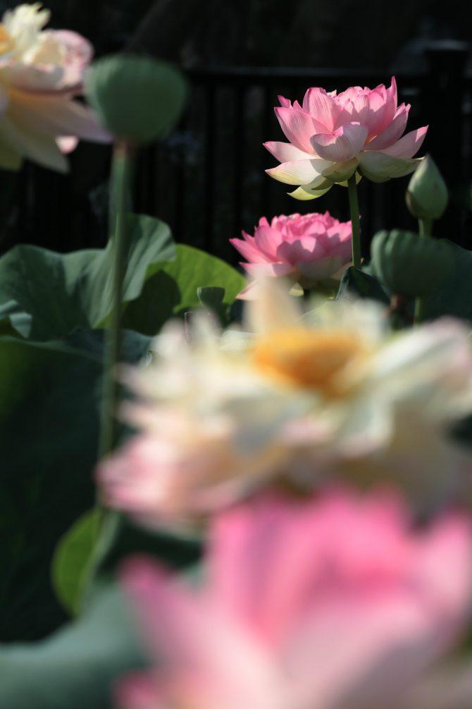 蜂巣が目立つように 中山法華経寺のハス