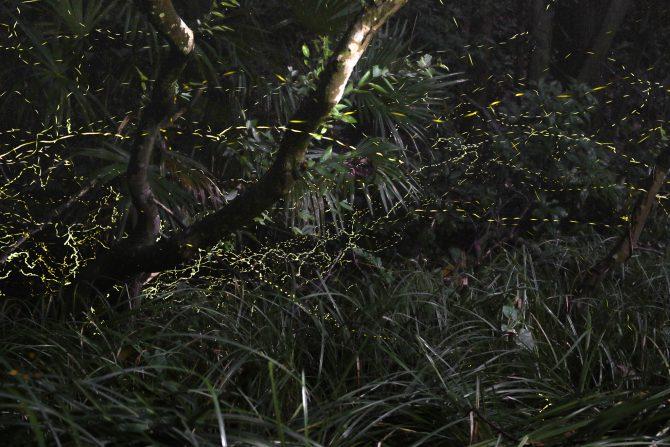 大町自然観察園で「ホタル観賞会」 2016年7月23日(土)~8月7日(日)