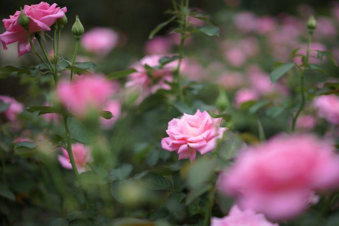 里見公園で秋のバラが咲き始め