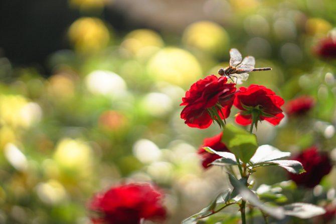 大町自然観察園でもバラの花が増えてきています