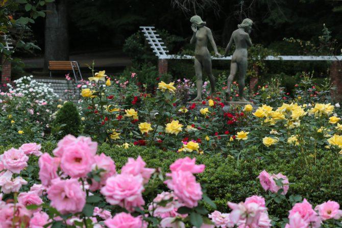 秋のバラが増えてきました 里見公園にて