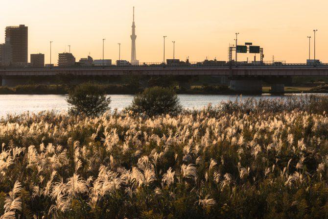 夕暮れのススキと江戸川