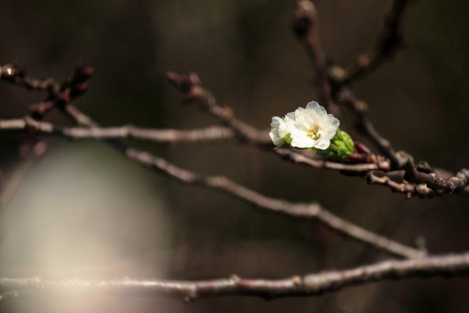じゅん菜池緑地で冬桜が咲き始め
