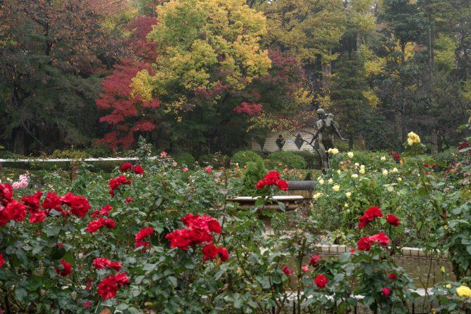 バラ園の周りの樹々が紅葉をはじめています 里見公園にて
