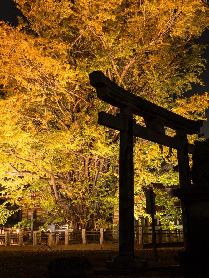 葛飾八幡宮で千本公孫樹のライトアップ