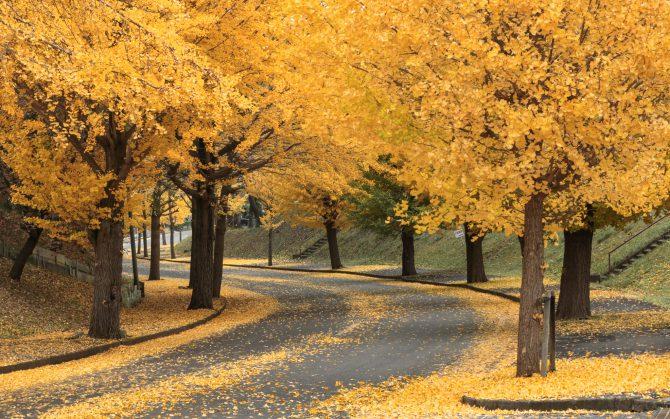 イチョウの黄葉が見ごろに 市川市霊園にて