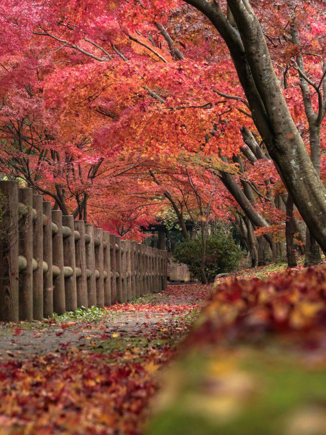 大町自然観察園のモミジの紅葉