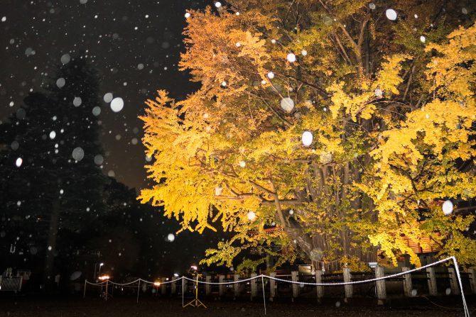 雨の千本公孫樹