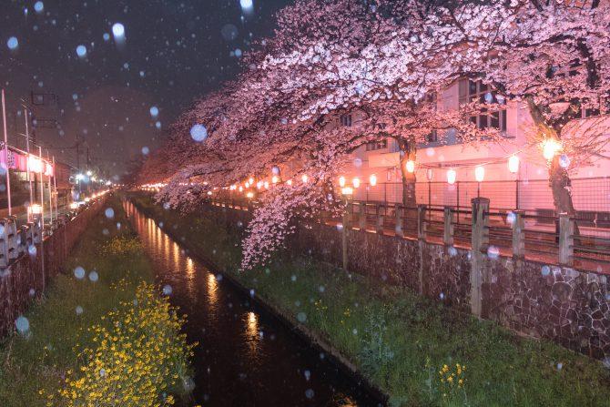 真間川にて 4月4日撮影