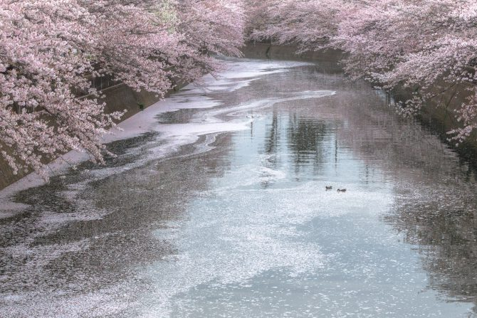 真間川にて 4月8日撮影