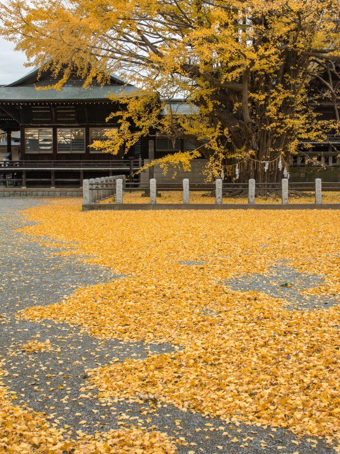 千本公孫樹の黄色い絨毯 葛飾八幡宮にて
