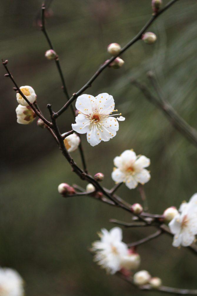 じゅん菜池緑地でも梅の花が咲き始め