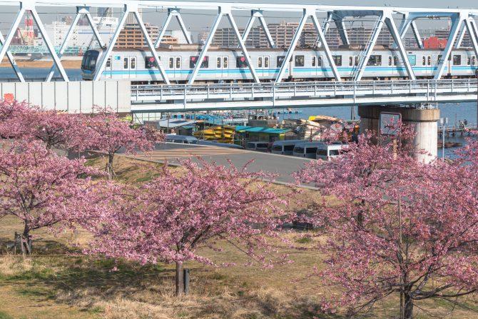 妙典の河津桜並木も見ごろに