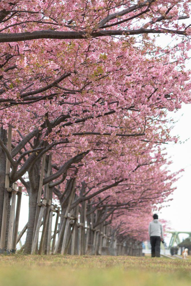 河津桜が散り始め