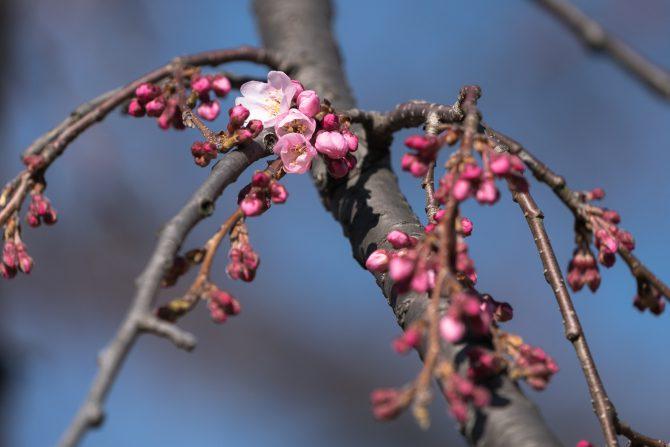原木山妙行寺のしだれ桜が咲き始め