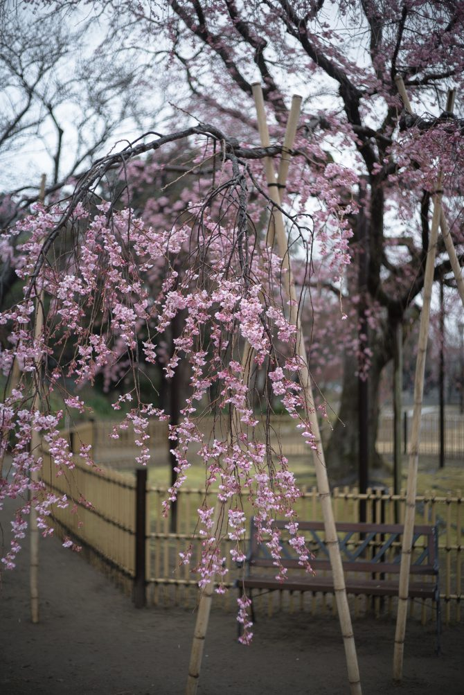 見ごろは近そうです 原木山妙行寺のしだれ桜