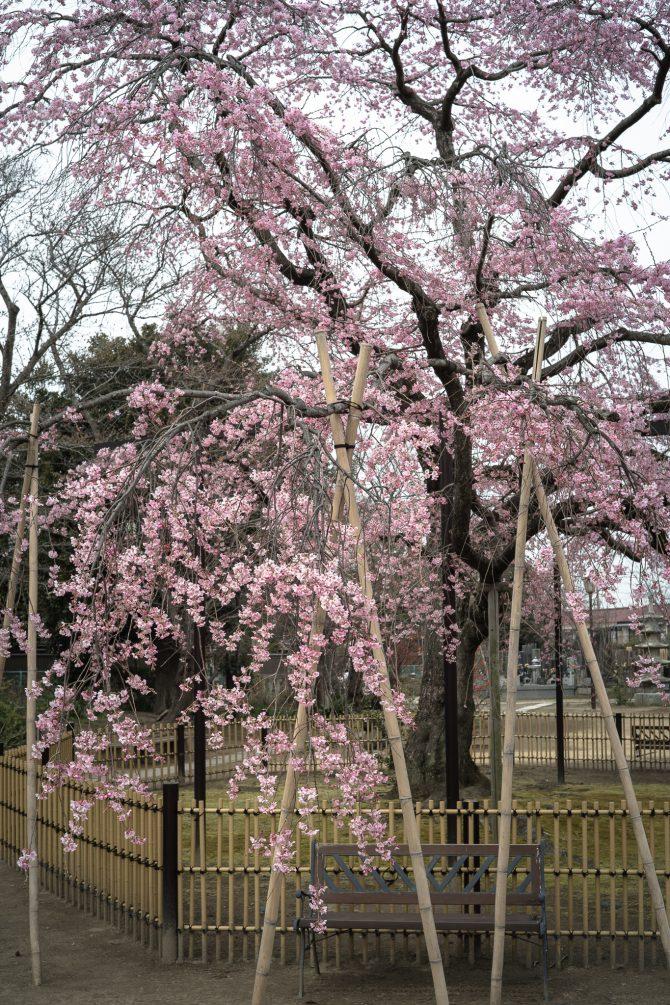 原木山妙行寺のしだれ桜が見ごろに