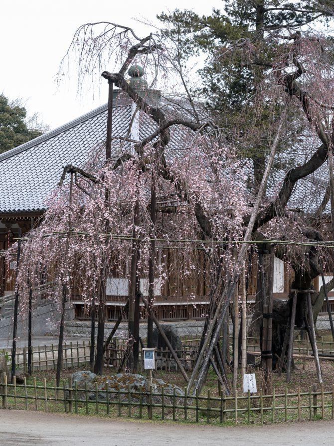 真間山弘法寺のしだれ桜「伏姫桜」がそろそろ見ごろに