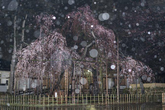 雨の伏姫桜